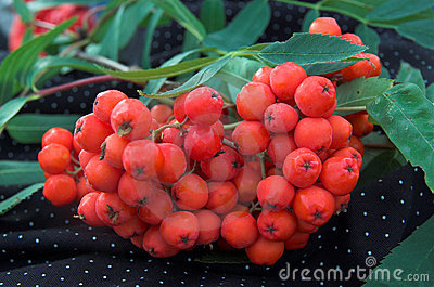 Red berries of a mountain ash on a branch