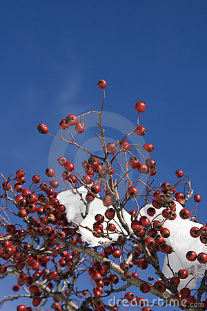Free Red Berries On Snowy Tree Royalty Free Stock Photography - 7697157