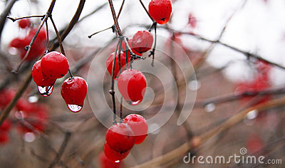 Red Berries in Rain