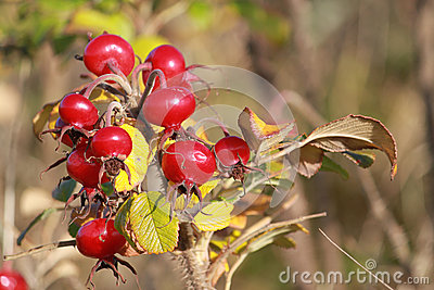 Red berries or rosehips on dog-rose rosa canina