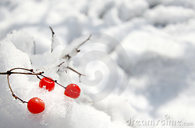 Red berries on the snow