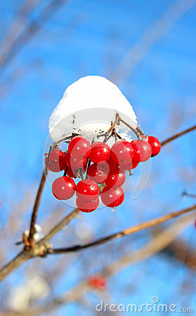 Red berries viburnum in winter
