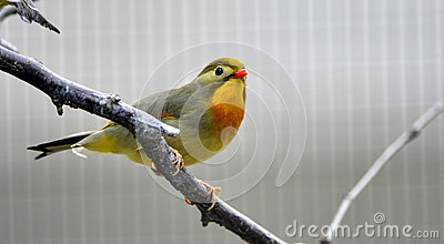 The red-billed Leiothrix