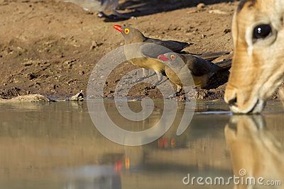Red Billed Oxpeckers drinking, Botswana