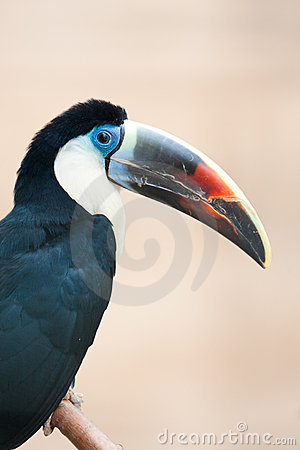 Red billed toucan