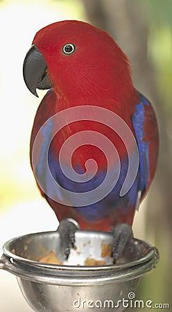 Red bird Bali