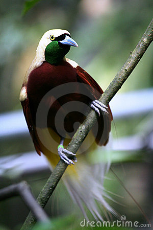 Red Bird-of-paradise