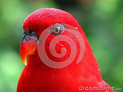 Red Bird Wet after the rain