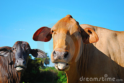 Red and black brahma bulls looking into the camera