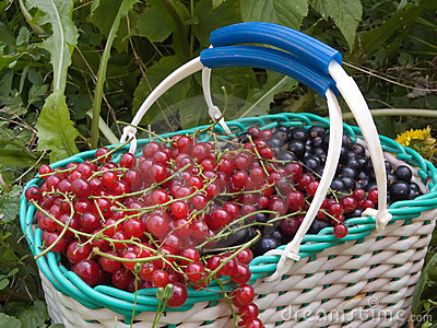A red and black currant berry