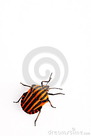 Red and black insect Graphosoma lineatum