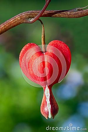 Red Bleeding Heart Flower