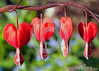 Red Bleeding Heart Flowers
