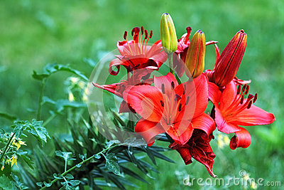 Red  blooming lily flowers Lilium