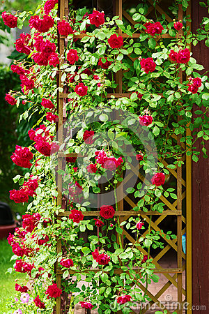 Free Red Blooming Ornamental Flowers Of Climbing Rose Shrub Covering The Garden Gazebo. Royalty Free Stock Photography - 84247527