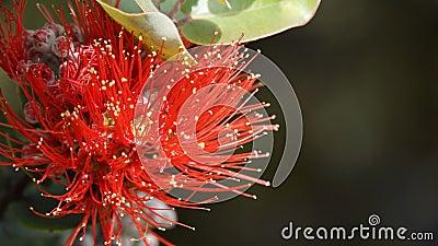 Ohia Lehua blossom