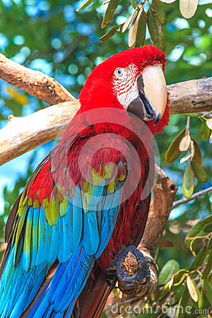 Red blue Ara parrot