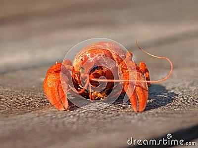 Red boiled  crawfish.