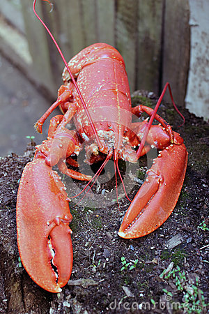 Red boiled lobster in nature Stock Photo