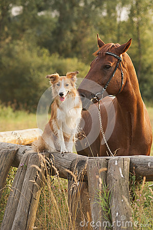 Free Red Border Collie Dog And Horse Royalty Free Stock Photos - 30654348
