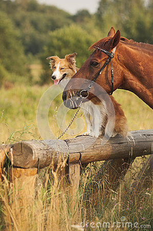 Free Red Border Collie Dog And Horse Stock Photo - 30654400