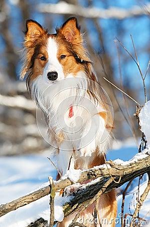 Red border collie portrait in winter