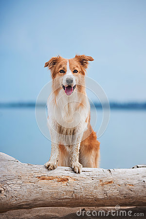 Free Red Border Collie Running On A Beach Royalty Free Stock Photo - 97682265