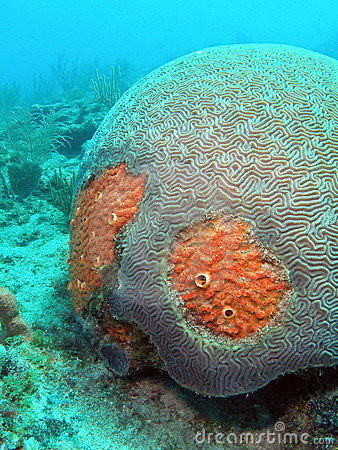 Red Boring Sponge and Brain Coral