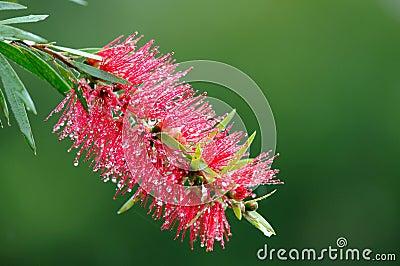 Red bottle-brush tree (Callistemon)