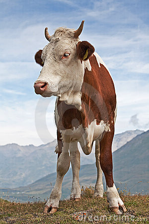 red-brown  cow
