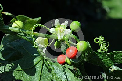 Red bryony