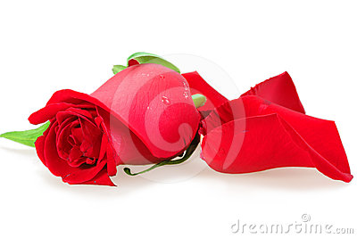 Red bud-flower of rose