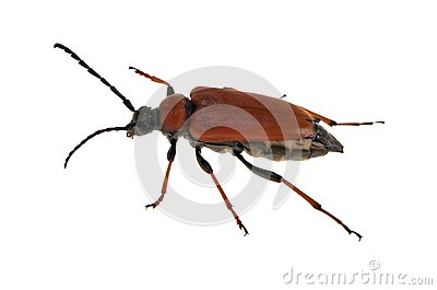 Red bug isolated on white
