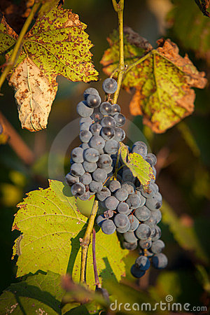 Red bunches of grape (2).