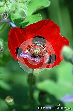 california poppy illustration. RED CALIFORNIA POPPY FLOWER