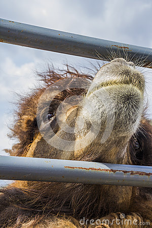 Red camel of the fence.