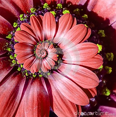 Free Red Camomile Daisy Flower Spiral Abstract Fractal Effect Pattern Background. Red Surreal  Flower Spiral Abstract Pattern Fractal Royalty Free Stock Images - 106290759