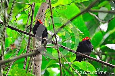 Red Capped Manakin, Costa Rica