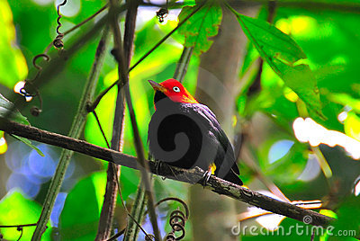 Red Capped Manakin, Costa Rica