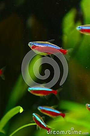 Red cardinal neon fish shoal