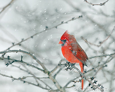 Red Cardinal in a Snow Storm
