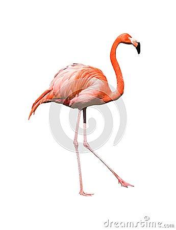 Red caribbean flamingo dancing