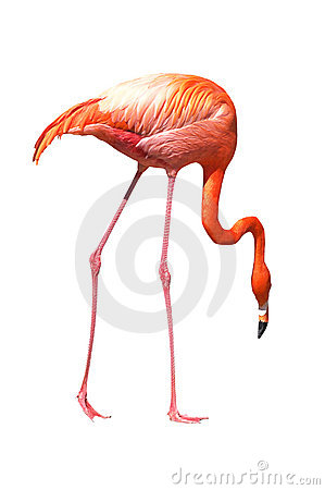 Red caribbean flamingo seeking