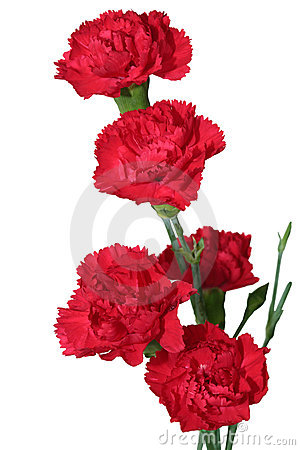 Free Red Carnation Royalty Free Stock Photography - 13381497