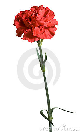 Free Red Carnation Stock Photography - 14084882