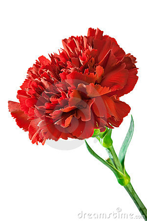Free Red Carnation Royalty Free Stock Image - 18133026