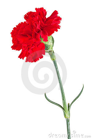 Free Red Carnation Royalty Free Stock Photography - 18846197