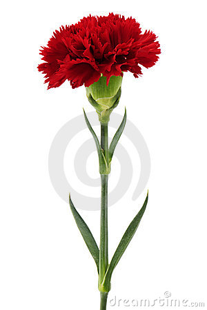 Free Red Carnation Royalty Free Stock Photos - 19832398