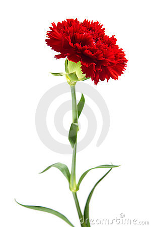 Free Red Carnation Stock Photos - 21490973