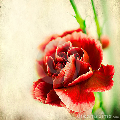 Free Red Carnation Stock Photos - 23179533